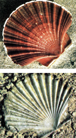 pecten-and-fossil