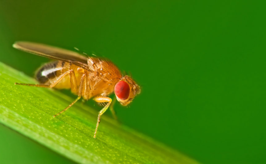 Male fruit fly