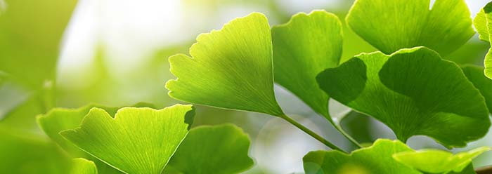 ginkgoleaves-stage
