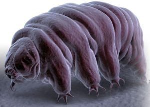 tardigrade_water_bear